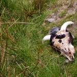 Sheep skull near the Famine Village on Achill Island - Photo by Corey Taratuta
