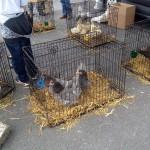Fowl at the Kilkenny Car Boot Sale - Photo by Corey Taratuta