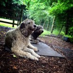 Irish Wolfhounds at Bunratty