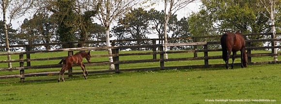 Foal frolics at the Irish National Stud, Kildare, Ireland