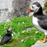 Puffins at Skellig Michael - photo by Corey Taratuta